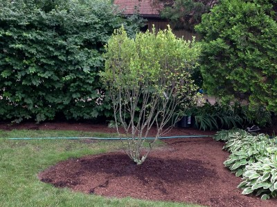 Seviceberry Tree   Arlington Heights Backyard Landscaping Backyard