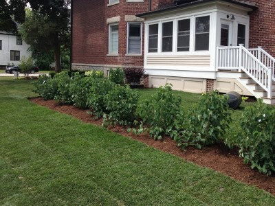 Viburnum Hedge with New Sod, Arlington Heights Sod