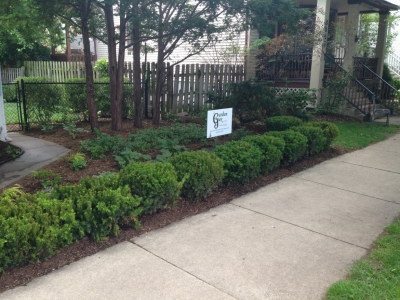 Yew Hedge in Front Entrance Yard - Wrigleyville Landscaping