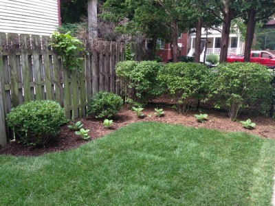 Privacy Hedge   Wrigleyville Landscaping